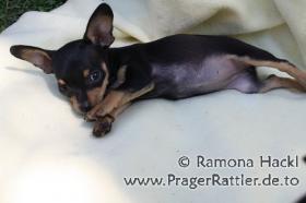 Prager Rattler H�ndin mit 9 Wochen sucht neues Zuhause!