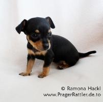 Foto 5 Prager Rattler Welpen mit Ahnentafel