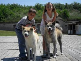 Foto 6 Preisgekrönte Eltern, gute Blut-Linie 6 japanischen Akita Inu Welpen zu verkaufen.  3 rote-weiße und drei Streifen (Hündin). Die Welpen sind geboren am 7. April (2012). Sie können ab 26-sten Mai mitnehmen. Wir suhen für Ihnen gute Besitzer! Tel.: 36-70-33