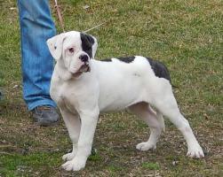 Foto 2 Premium kategorie american bulldog Welpe