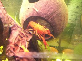 Proc. clarkii orange