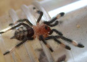 Foto 2 Psalmopoeus irminia Vogelspinnen Spiderlinge