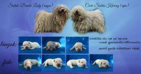 Puli weiß Hundewelpen