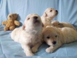 Foto 4 Puli weiß Hundewelpen