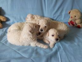 Foto 6 Puli weiß Hundewelpen
