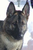 """""""Puma"""", männlich, Dt. Schäferhund, 1 Jahr, 60 cm"""
