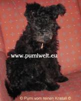 Pumi-Rüde ''Klex'', 4,5 Mon. alt, vom Züchter (nichthaarende, mittelgroße Rasse)