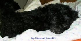 Foto 3 Pumi Welpen, geb. 2. Dez. 2012 Abgabe der Welpen ab 3. Feb. 2013