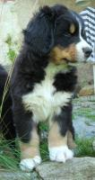 Puppies Bernese Mountain Dog