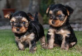 Foto 2 Puppies Yorkshire Terrier