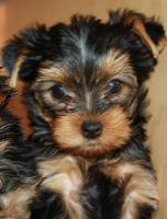 Foto 4 Puppies Yorkshire Terrier