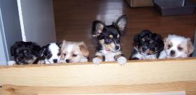 Puppies kleine Welpen
