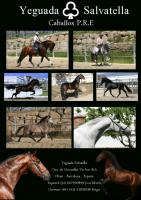 Pura Raza Espanola / Andalusier direkt vom Züchter