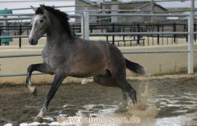 Foto 2 Pura Raza Espanola / Andalusier direkt vom Züchter