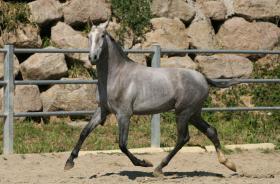 Foto 7 Pura Raza Espanola / Andalusier direkt vom Züchter