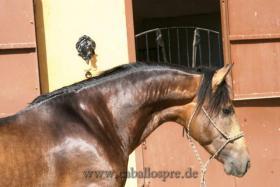 Foto 8 Pura Raza Espanola / Andalusier direkt vom Züchter