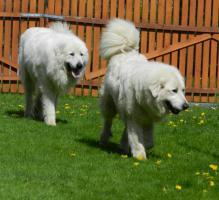 Pyrenäen Berghunde