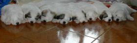 Foto 4 Pyrenäen Berghunde