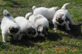 Pyren�enberghund-Welpen!