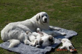 Foto 2 Pyrenäenberghund-Welpen!