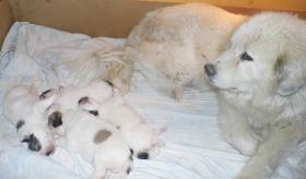 Pyrenäenberghunden Welpen