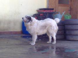 Foto 2 Pyrenäenberhundwelpen