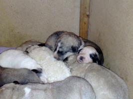 Foto 5 Pyrenäenberhundwelpen