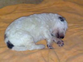 Foto 6 Pyrenäenberhundwelpen