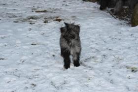 Pyrenäenschäferhunde