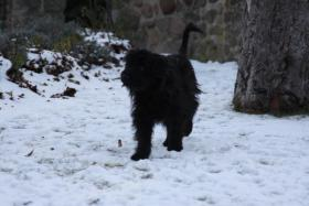 Foto 2 Pyrenäenschäferhunde