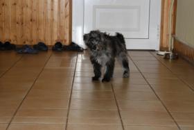Foto 3 Pyrenäenschäferhunde