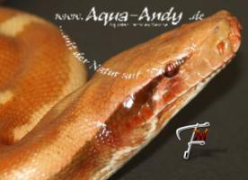 Python brongersmai T+ Albino Blutpython  subadult Zuchtgruppe