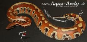 Foto 4 Python brongersmai T+ Albino Blutpython  subadult Zuchtgruppe
