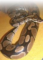 Python regius (Königspython)
