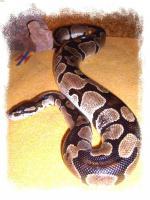 Foto 2 Python regius (Königspython)