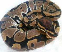 Python regius (Königspython) Nachzuchten