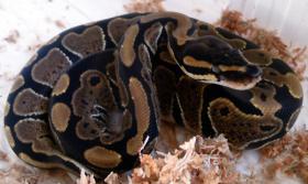 Foto 3 Python regius (Königspython) Nachzuchten