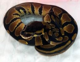 Python regius (Königspython) Nachzuchten 2013