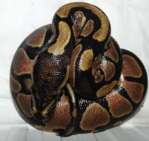 Foto 2 Python regius (Königspython) Nachzuchten 2013
