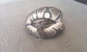 Python regius p�rrchen