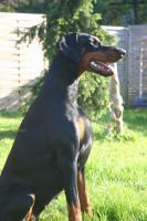 Foto 4 Qualitätsvolle Dobermannwelpen