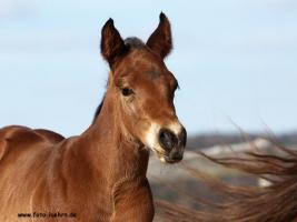 Quarter Horse Fohlen 2011