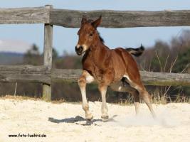 Foto 2 Quarter Horse Fohlen 2011