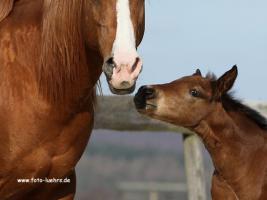 Foto 3 Quarter Horse Fohlen 2011