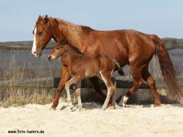 Foto 4 Quarter Horse Fohlen 2011