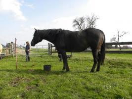 Quarter Horse Stute 13 J. von Smooth N Call, Zucht- u. Lehrnpferd