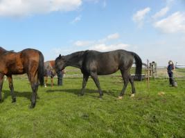 Foto 2 Quarter Horse Stute 13 J. von Smooth N Call, Zucht- u. Lehrnpferd