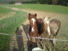 Quarter Horse Stute 3,5J und Appi Stute 2,5J