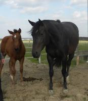 Foto 3 Quarter Horse Stute, 4 J. von Leagure Lil Chip, tragend von MG Isle Chic