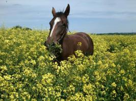 Quarter <horse